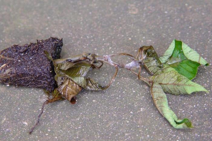 Пуансеттия сгнила из-за перелива