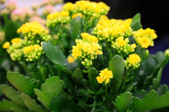 kalankhoe blossfelda Yellow