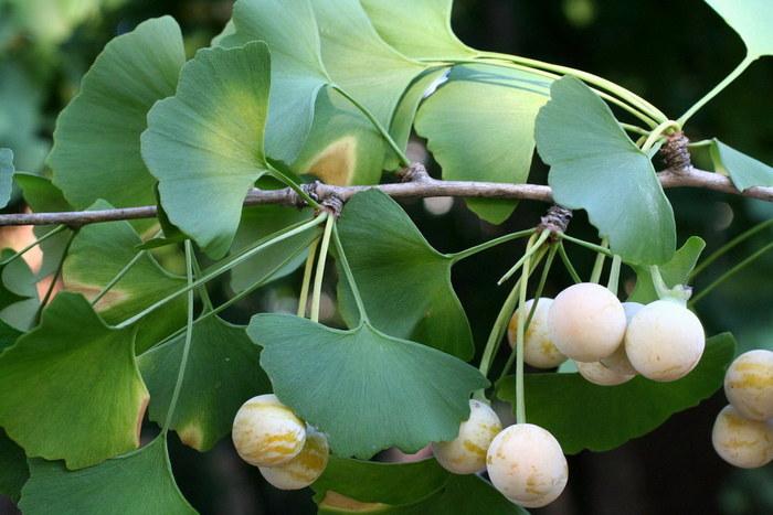 Гинкго Двулопастный (Билоба): выращивание, сорта