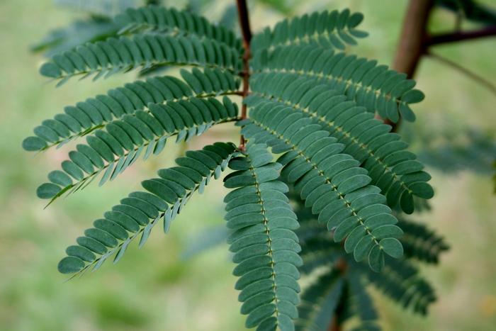 Листья шелкового дерева