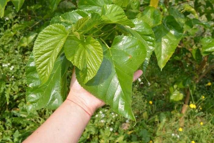 Листья черной шелковицы