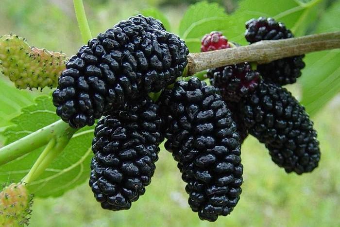 Ягоды черной шелковицы
