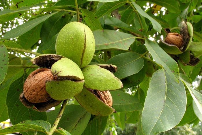 Чем полезны орехи: свойства, калорийность, применение