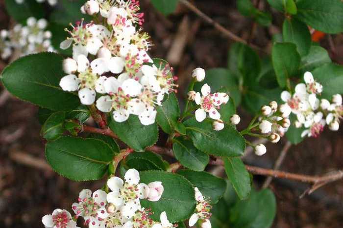 Черноплодная рябина: применение, виды, сорта