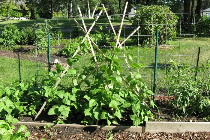 Стручковая фасоль (спаржевая): выращивание, уход, заболевания