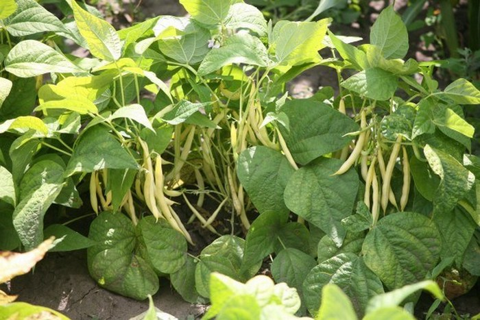 Зелёная фасоль выращивание и уход 87