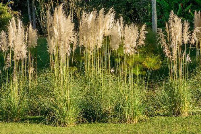 Пампасная трава (Cortaderia selloana)