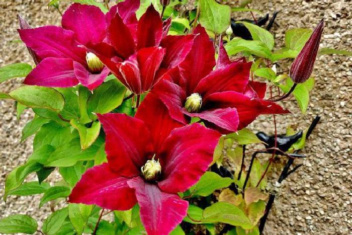 Клематисы: выращивание, обрезка, сорта