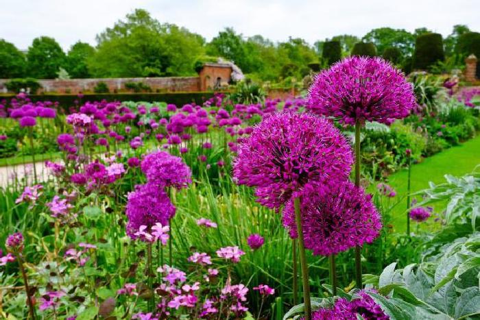 Декоративный лук (Allium)
