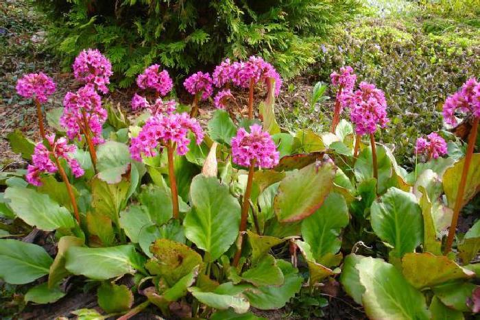 Бадан сердцелистный - Bergenia cordifolia