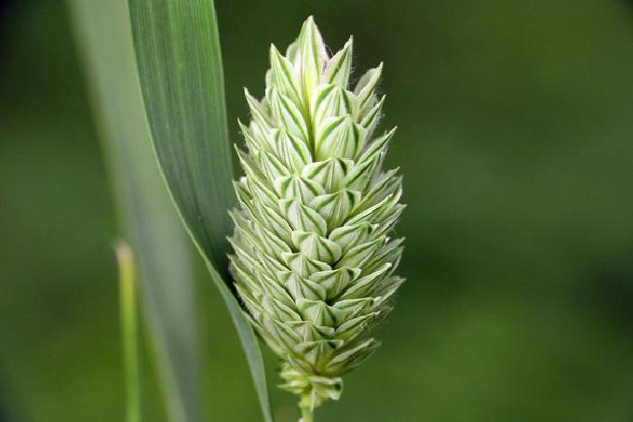 Канареечник канарский (Phalaris canariensis)