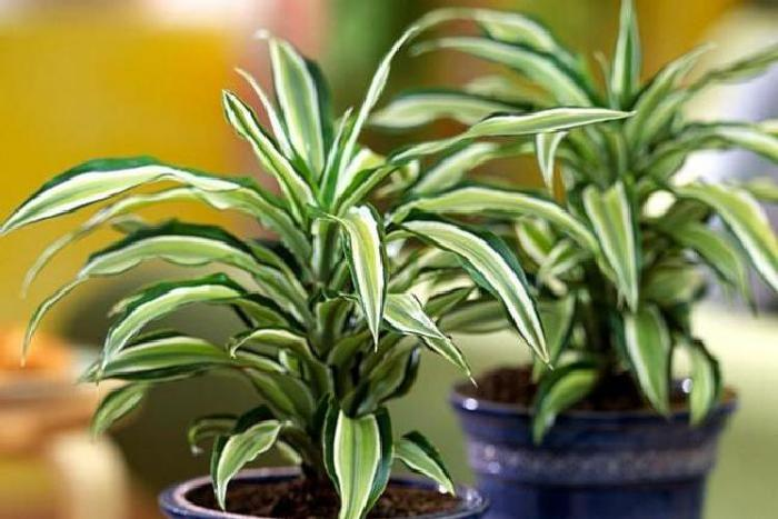 Выращивание драцен в домашних условиях 352