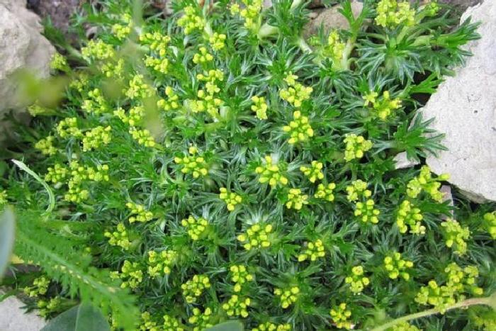 Азорелла трехвильчатая - Azorella trifurcata