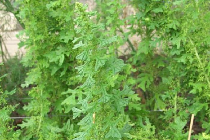 Амброзия мексиканская (Ambrosia artemisiifolia)