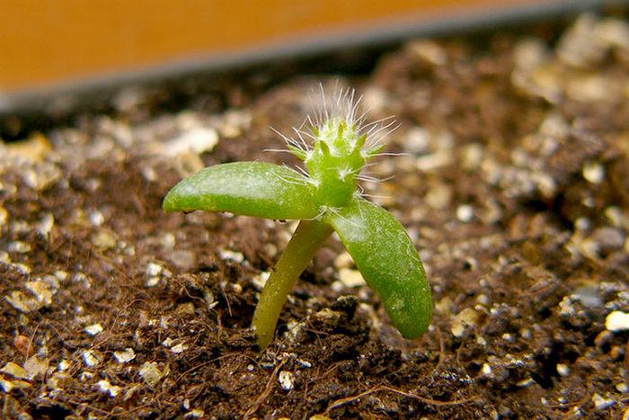 Всходы кактуса