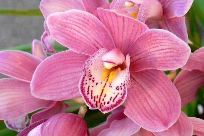 Уход за горшечной орхидеей в домашних условиях