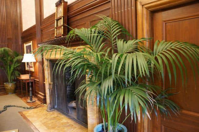 Виды и разновидности домашних пальм, фото и названия