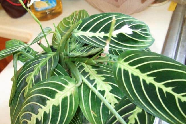 Маранта: выращивание, уход в домашних условиях