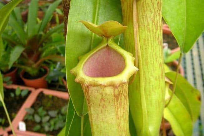 Выращивание непентеса в домашних условиях 3
