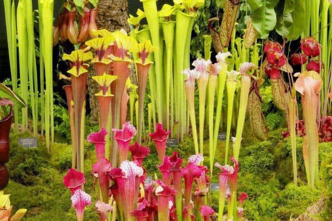 Саррацения: выращивание и уход в домашних условиях