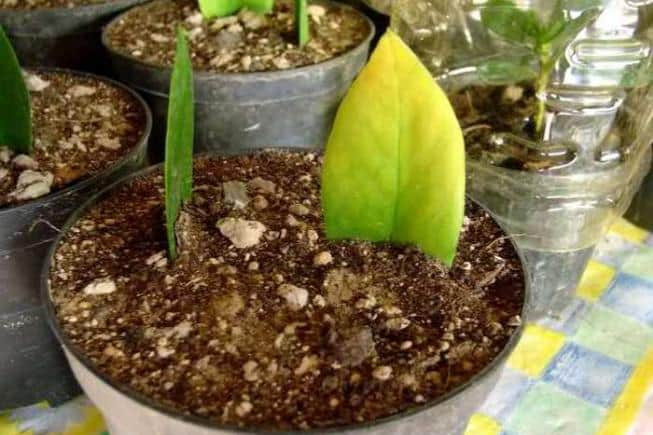 Размножение замиокулькаса листом