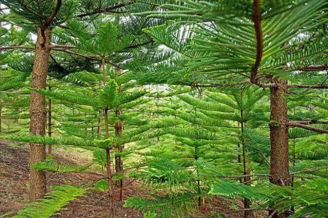 Араукария разнолистная: секреты выращивания и ухода