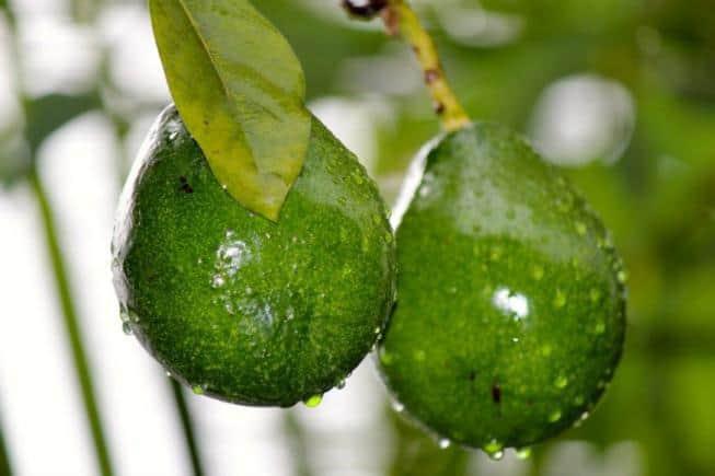 Выращивание дерева авокадо как комнатное растение