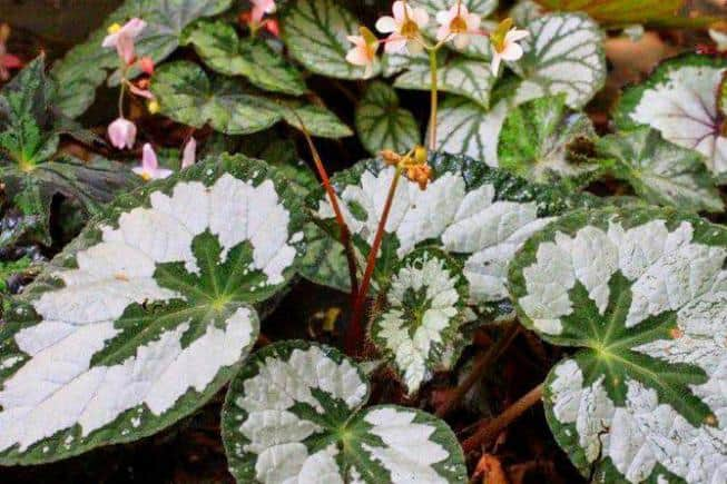 Begonia 'SIlver Queen'