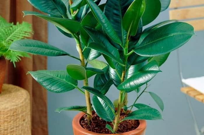 Фикус каучуконосный: сорта, уход в домашних условиях