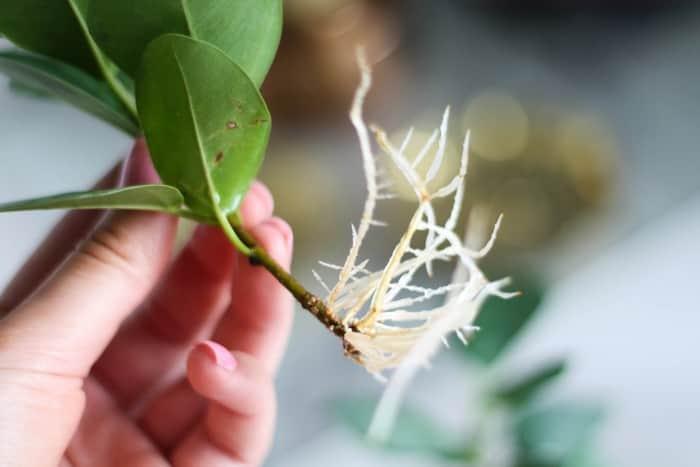 Размножение фикуса Гинсенга черенками