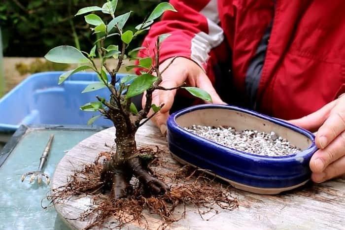 Замена почвы бонсай