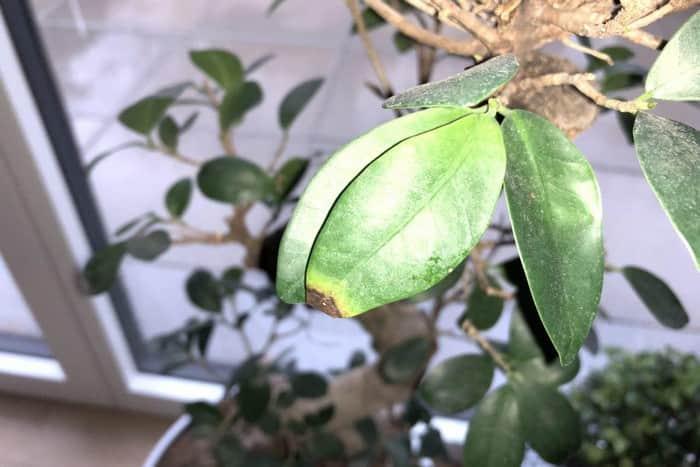 Сохнут кончики листьев у фикуса Гинсенга