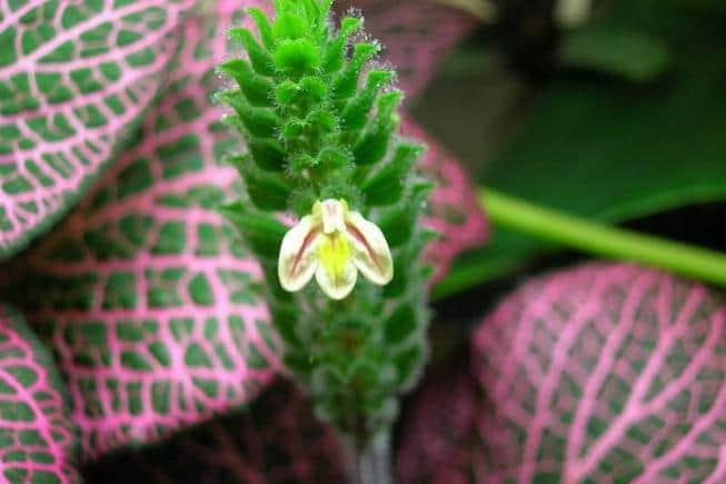 Фиттония: комнатное растение с оригинальными листьями