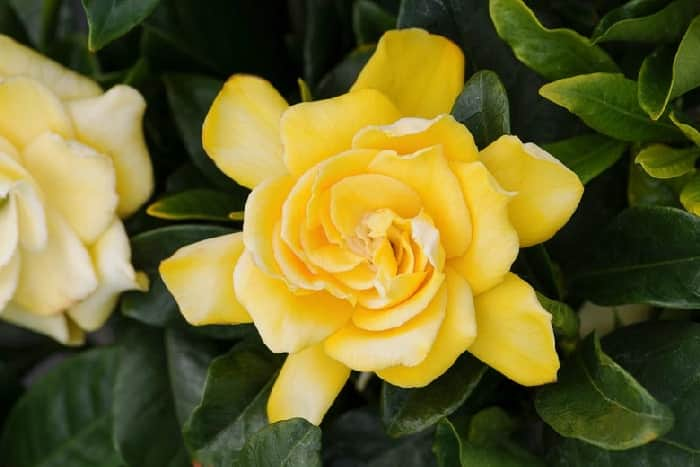 gardenia Golden Magic