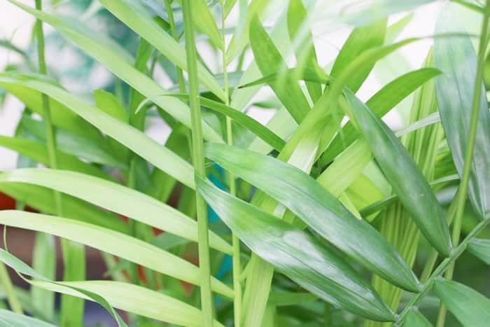 Хамедорея изящная как вырастить из семян