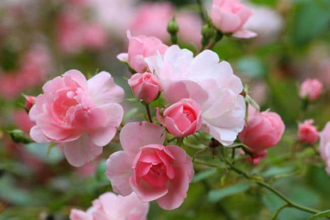 Розы – королевская красота в каждом саду