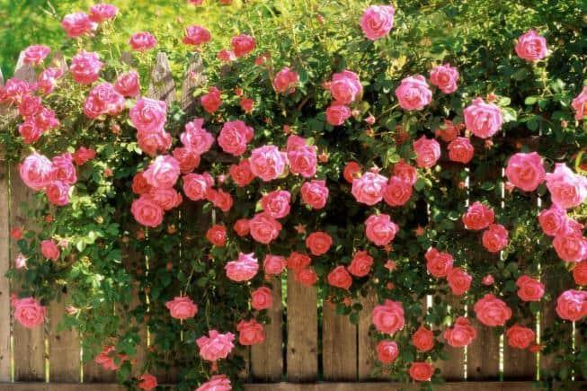Вьющаяся роза: уход и выращивание