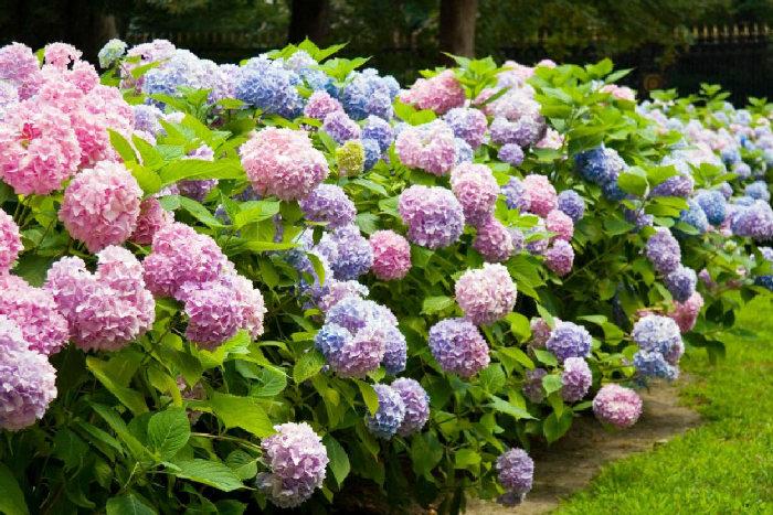 Гортензия букет роз посадка и уход цветов