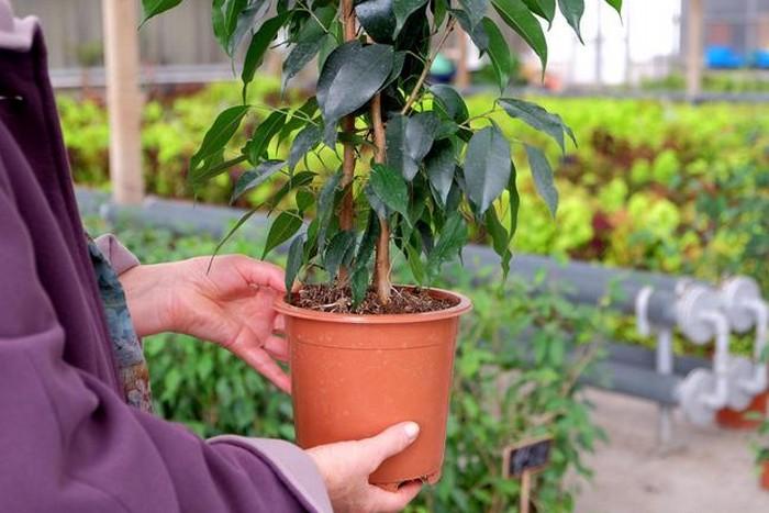 После покупки листья фикус сбрасывает листья