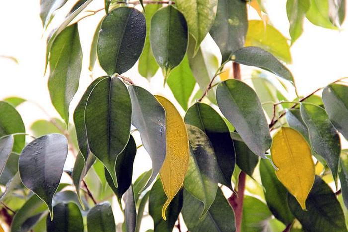 Желтеют листья у фикуса Бенджамина