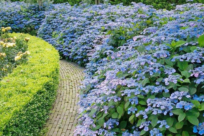 Гортензия пильчатая в саду