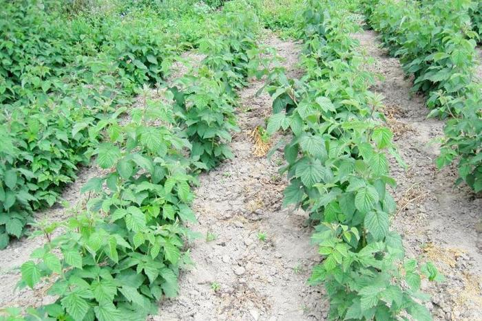 Малина 'Glen Ample': посадка, выращивание, защита