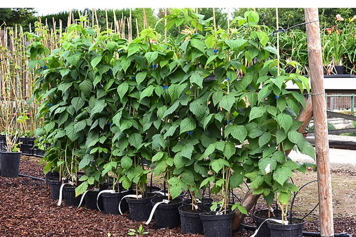 Малина желтая 'Утренняя Роса': выращивание, обрезка, удобрение
