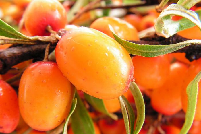 Облепиха крушиновидная: описание, выращивание, сбор плодов