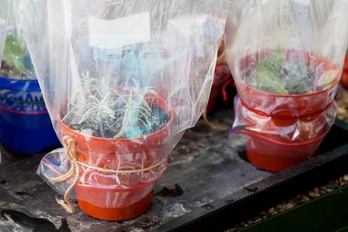 Выращивание черенков лаванды в мини теплице