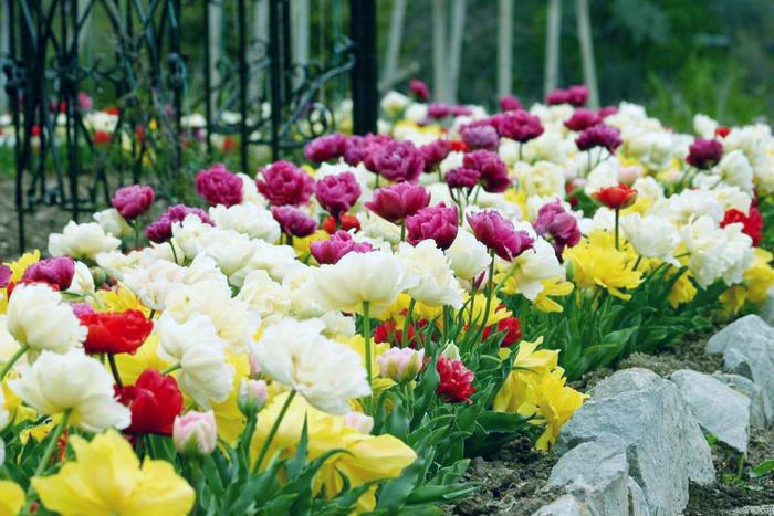 Когда сажать тюльпаны под зиму осенью