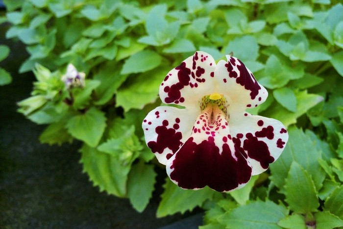 Mimulus x hybridus Monkey Magic