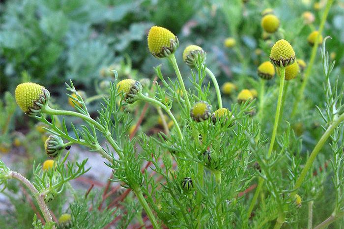Ромашка: полезные свойства, выращивание, применение