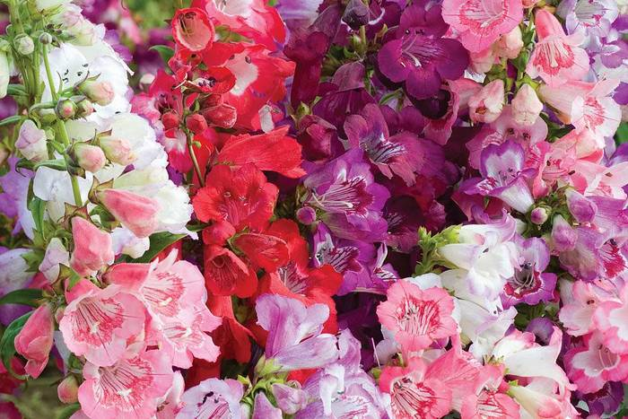 Antirrhinum majus Wedding Bells