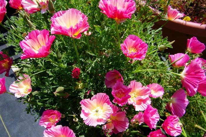 Выращивание из семян эшшольции 7